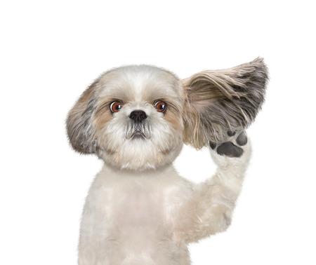 perro escucha atentamente a su propietario - aislado en blanco Foto de archivo