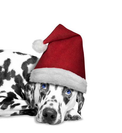 next year: Dog in a hat of Santa Claus laying on the floor -- isolated on white Stock Photo