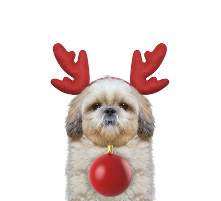 next year: Cute dog in reindeer antlers with xmas ball -- isolated on white
