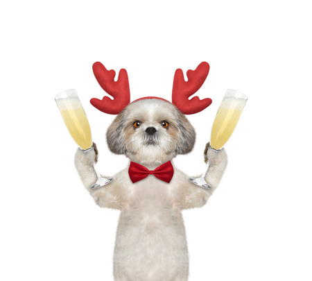 next year: Cute dog in reindeer antlers with a glass of champagne -- isolated on white
