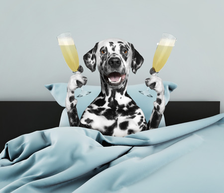Dalmatian dog laying in bed with champagne