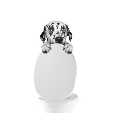 Dalmatian dog pooping into toilet bowl Stock Photo