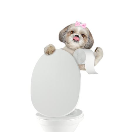 Cute dog pooping into toilet bowl Stock Photo