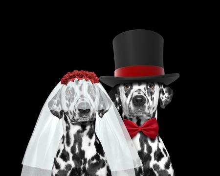 Dog happy wedding. Isolated on black