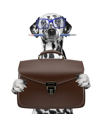 businessman dalmatian dog with suitcase or bag isolated on white