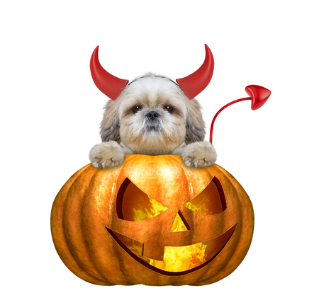 halloween pumpkin witch cute shitzu dog - isolated on white