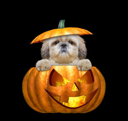 halloween pumpkin witch cute dog - isolated on black