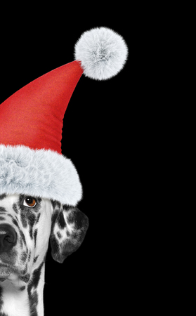 Santa claus dalmatian dog with new year hat and serious face. Isolated on black Stock Photo