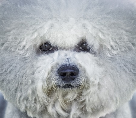 Portrait of white Bishon frise dog Stock Photo