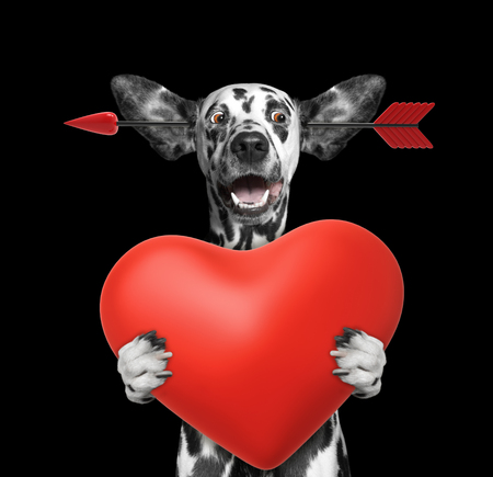 Cute dalmatian dog is falling in love on valentines day. Isolated on black