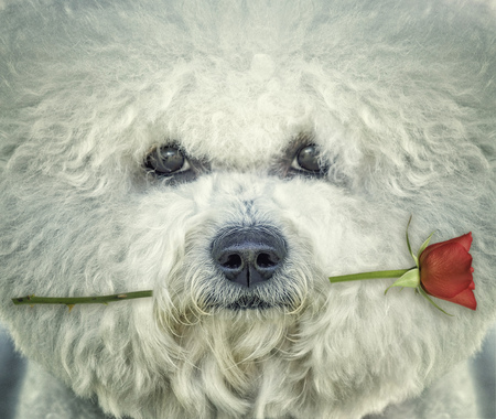 Bishon frise dog with rose in his mouth Stock Photo