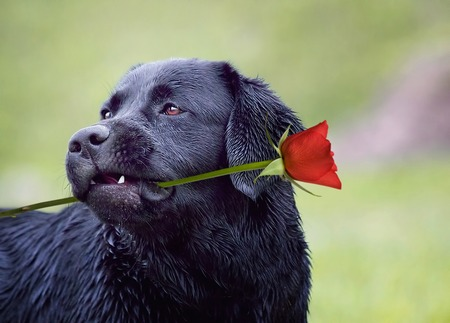 Golden retriever dog with rose in his mouth Stock Photo