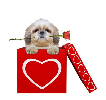 バレンタインボックスに座ってバラを持つかわいい犬。白で隔離