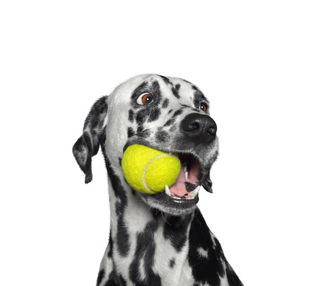 Cute dalmatian dog holding a ball in the mouth. Isolated on white 스톡 콘텐츠
