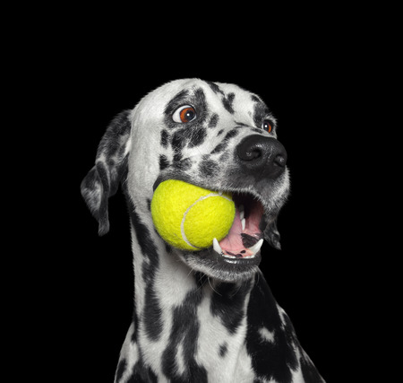 Cute dalmatian dog holding a ball in the mouth. Isolated on black Stockfoto