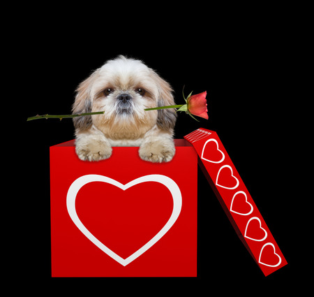Cute dog with rose sitting in valentines box. Isolated on black