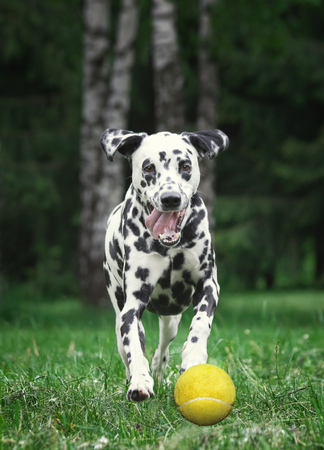 Dalmatian dog catching a tennis ball Stock Photo