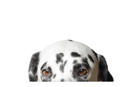 Cute dalmatian dog is hiding. Isolated on white Standard-Bild