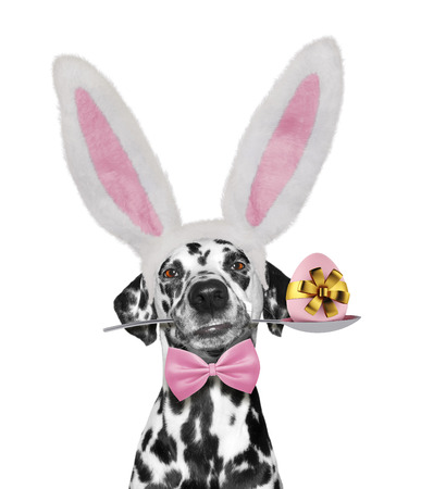 Cute dalmatian dog with rabbit ears and easter egg. Isolated on white