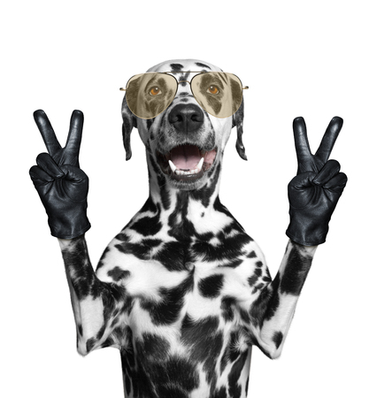 Dalmatian dog with two victory fingers. Isolated on white Stock Photo