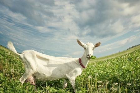 Goat eats grass on the green summer meadow
