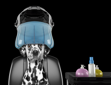 Dalmatian dog sitting under the drying hood in salon -- isolated on black
