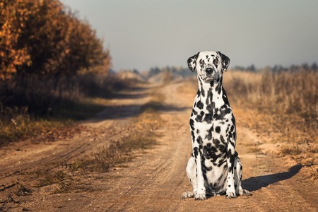 Dalmatian dog is sitting at autumn road
