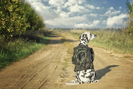 Dalmatian dog with bag or luggage is going to trip