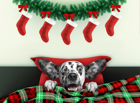 Decorated for new year living room with cute dalmatian dog wearing santa costume Standard-Bild