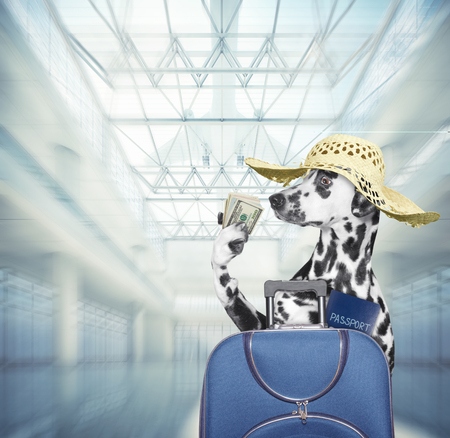Dalmatian dog waits at the airport with blue suitcase Banco de Imagens