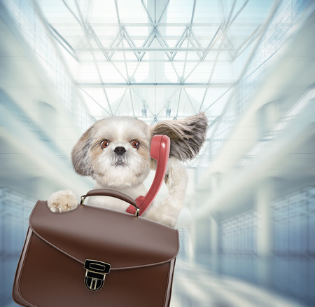 Shitzu dog waits at the airport with brown suitcase and phone