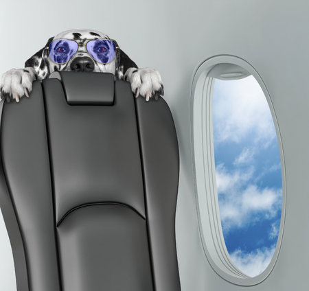 Dalmatian dog on board of airplain looking with horror.