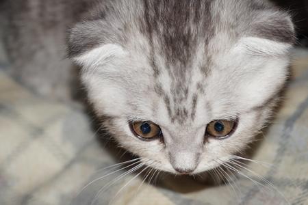 lop-eared kitten