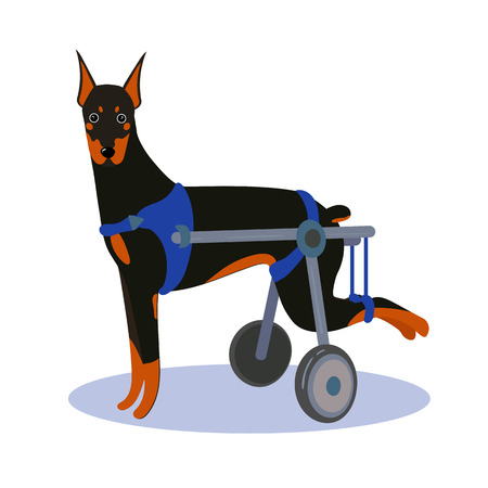 Handicapped disabled agility dog doberman with wheels. Vector illustration