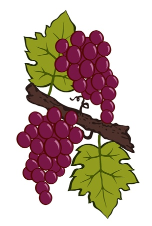painted grapes and leaves on a branch vector Vector