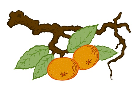 drawing mandarin with leaves on a branch vector Vector