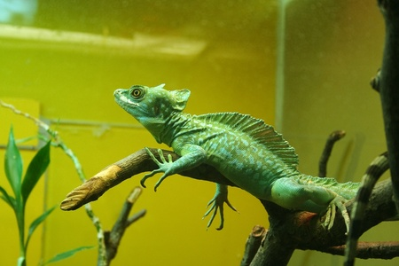 green chameleon on the branch in the terrarium photo