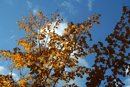 autumn orange tree against the blue sky photo