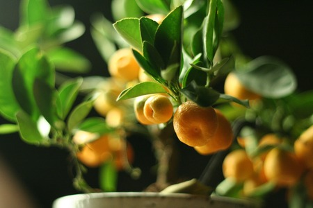 Mandarin branch close up of small tree in pot on dark background