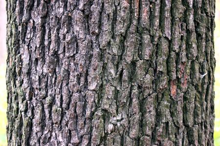 aspen tree: aspen tree trunk dark texture Stock Photo