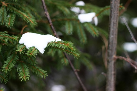 Green Fir tree branch under snow close up un blurred forest background Stock Photo