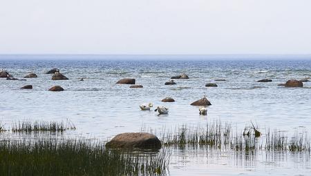 Mute swans near the seashore in Rannamoisa, Harjumaa, Estonia Stock Photo