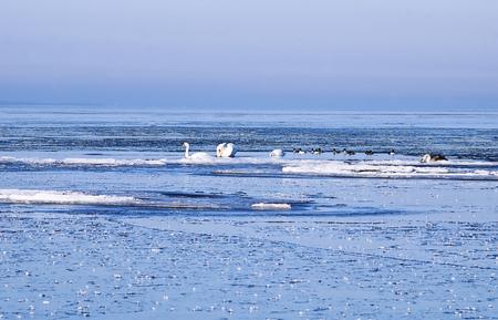 Mute swans between ice floes in Rannamõisa, Harjumaa, Estonia
