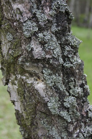 birch tree: Birch Tree. Texture of birch tree trunk. Stock Photo