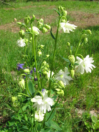 columbine: Columbine flower,closeup of white columbine flower  in garden Stock Photo