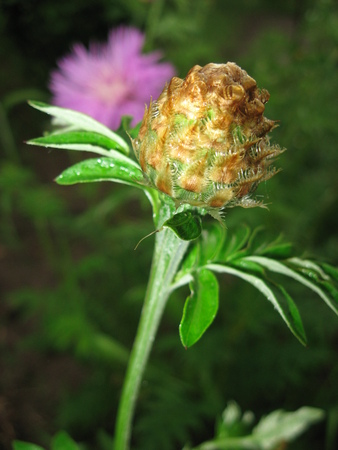fragility: Bud of violet cornflower in the garden