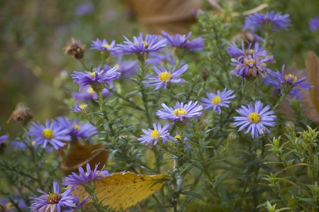 perennial: Perennial Asters blooming in the  autumn garden Stock Photo