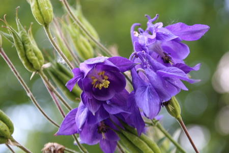 columbine flower images  stock pictures. royalty free columbine, Beautiful flower