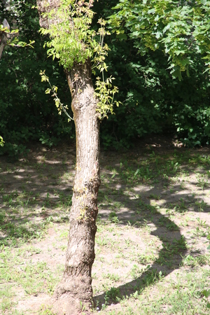 semicircular: A tree that casts a shadow of a semicircular Stock Photo