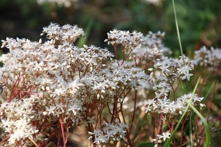 White stonecrop Sedum album, flowering plant of the family Crassulaceae